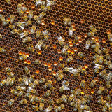 Bees work on honeycomb Stock Photo