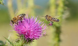 Bees at work Stock Photography