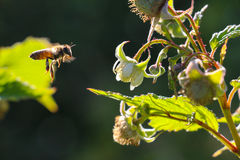 Bees at work on raspberry flower Royalty Free Stock Photography