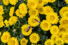 Bees at work on yellow flowering background Stock Photo