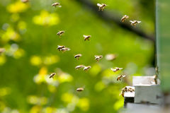 Bees working Royalty Free Stock Image