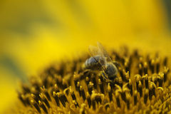 Bees working. Bee picking up nectar from sunflower Stock Image