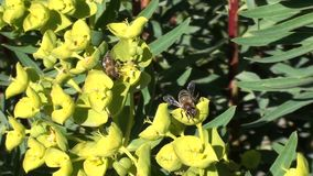 Bees working close up stock video