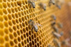 Honey bees on a honeycomb inside beehive. Hexagonal wax structure with blur background. Stock Images