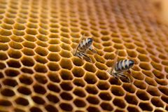 Honey bees on a honeycomb inside beehive. Hexagonal wax structure with blur background. Royalty Free Stock Photography