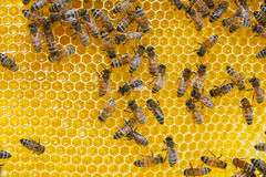 Bees. Working bees on honey cells Stock Image