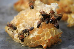 Bees working on honey cells Stock Photo