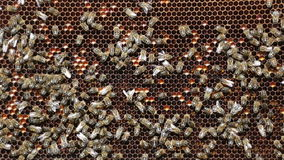 Bees working on honey cells Royalty Free Stock Image