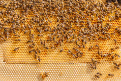 Bees working on honeycomb, swarming. Many bees working on honeycomb frame, swarming royalty free stock images
