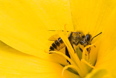 A bees in yellow flower Royalty Free Stock Photography