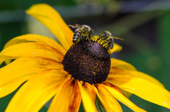 Bees on the yellow summer flower. Collecting nectar Stock Photo