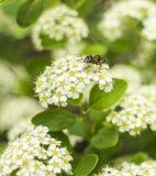 Bees and ZhenZhuHua Stock Photography