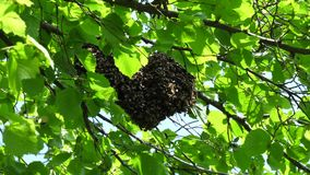 Beeswarm, das in einem Baum hängt stock video