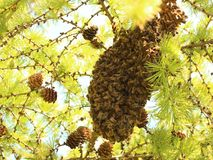 Beeswarm. Hundreds of bees in a beeswarm on a tree Royalty Free Stock Image