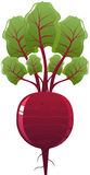 Beet. Vector illustration of a Beet Royalty Free Stock Photos