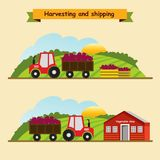 Beet. Collection and delivery of the crop. Vector illustration. The tractor carries the beet harvest to the store Stock Image