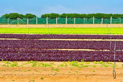 Beet Field Royalty Free Stock Photography