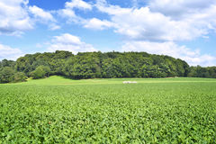 Beet field in the sun Royalty Free Stock Images