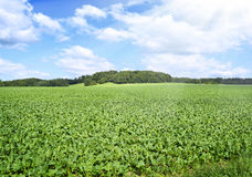 Beet field in the sun with blue sky. And fluffy clouds. Farmland and forest in the background with copy space. Agriculture summer scene Royalty Free Stock Photos