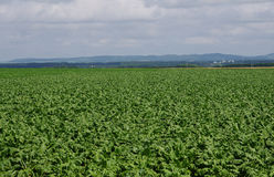 Beet fields Stock Photography