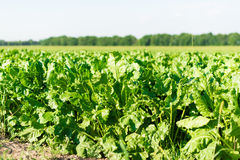 Beet growing in the field Royalty Free Stock Photography