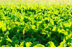 Beet growing in the field Royalty Free Stock Photos