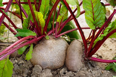 Beet growing in the garden Royalty Free Stock Image