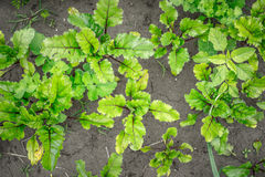 Beet growing in the garden top view Royalty Free Stock Image