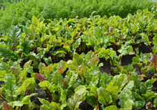 The beet growing in a kitchen garden Stock Images