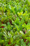 Beet growing in a vegetable garden Stock Photo