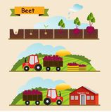 Beet, the growth cycle of plants. Collection and delivery of the. Crop. Vector illustration Stock Photos