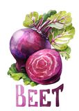 Beet. Hand drawing watercolor on white background with title. stock illustration