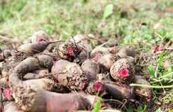 Beet harvest Stock Photos