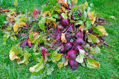 A beet harvest Royalty Free Stock Image