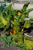 Beet leaf Chard Stock Photos