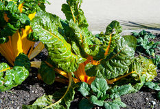 Beet leaf Chard Stock Images