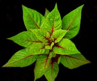 Beet leaves. Beet leaves are depicted on a black background. They are bright green with red veins Royalty Free Stock Photo