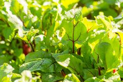 Beet leaves growing in garden Royalty Free Stock Photography