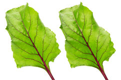 Beet leaves isolated on the white background Royalty Free Stock Image