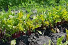 Beet leaves in sunlight Royalty Free Stock Photography