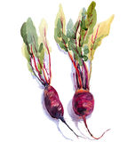 Beet with leaves. watercolor painting on white Royalty Free Stock Image
