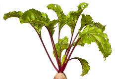 Beet leaves Stock Photo