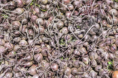 Beet. A pile of fresh baby Beets Stock Photos