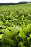 Beet plant Stock Image