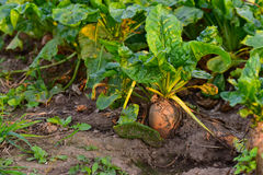 Beet plant in a garden Royalty Free Stock Photo