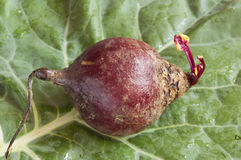 Beet root Stock Photography