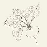 Beet root. Royalty Free Stock Photo