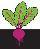 Beet with roots Stock Photo