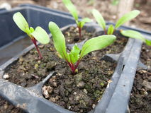 Beet Seedlings In Cell Pack. Beet seedlings growing in a cell pack in a greenhouse Royalty Free Stock Photos
