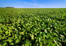 Beet sugar field with blue sky. Bright green leaves in Sugar beet field with sky royalty free stock photo